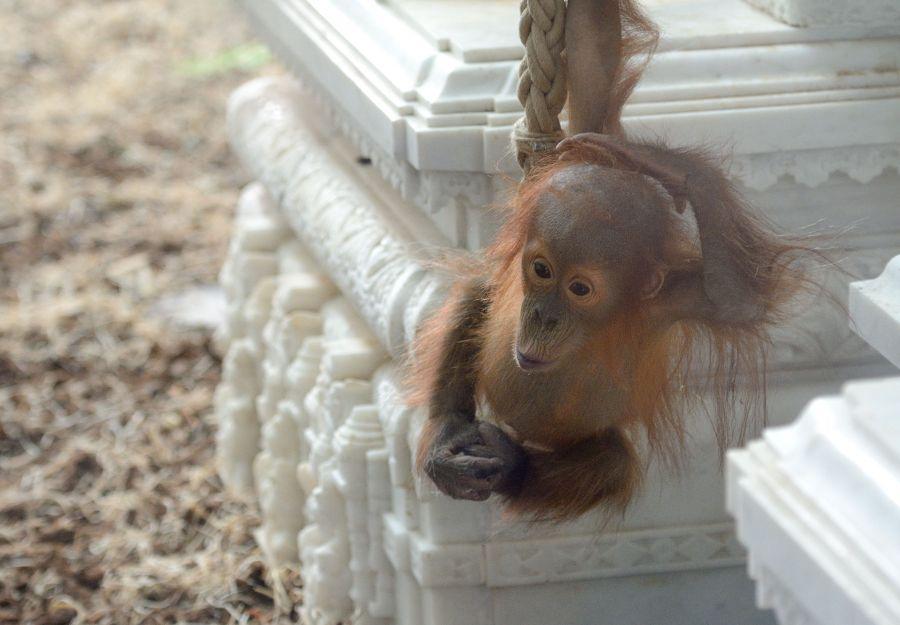 Berani, jeune orang-outan à Païri Daïza (BE) né en mars 2016 / Juin 2017 / Thomas PIERRE