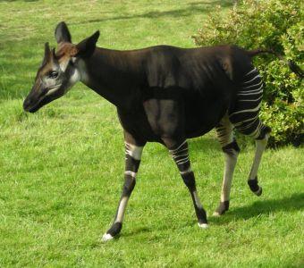Naissances rares d'okapis aux Zoos de Bâle et d'Anvers