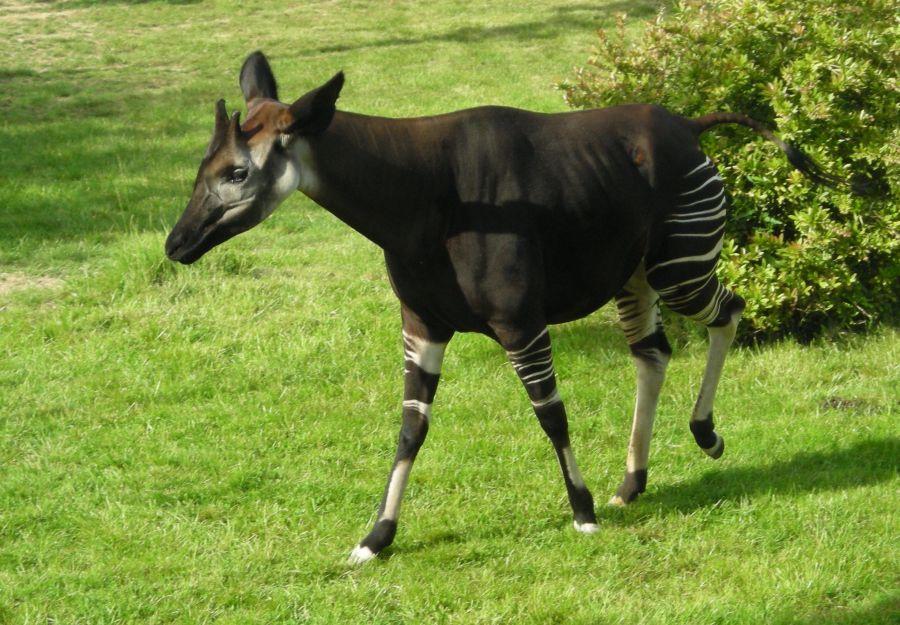 Naissance rare d'un okapi au zoo de bale - Image 2