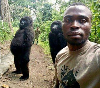 L'incroyable selfie de deux soigneurs avec des gorilles de montagne !