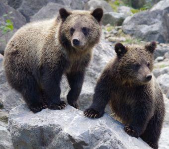 Deux ours bruns sont nés dans les Pyrénées !