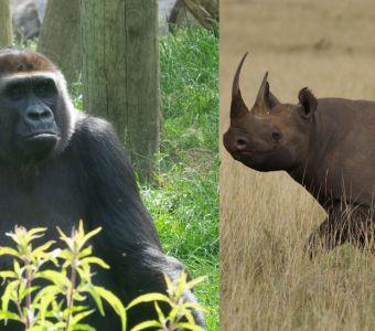 Bisons, escargots, gorilles et rhinos : retour à la vie sauvage