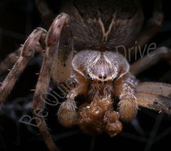 Dossier spécial Anigaïdo sur les araignées de nos maisons et nos jardins !