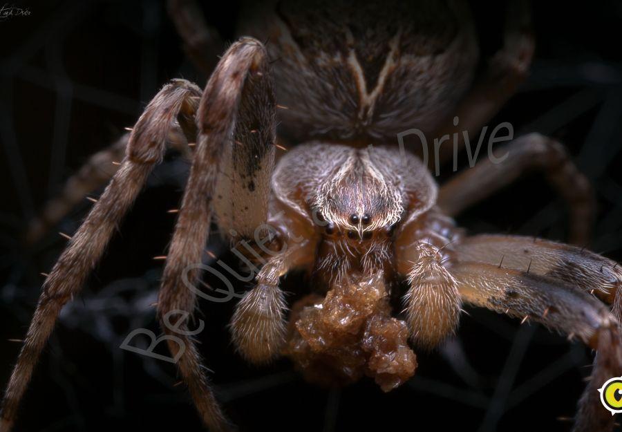 Dossier special anigaido sur les araignees de nos maison ... - Image 2