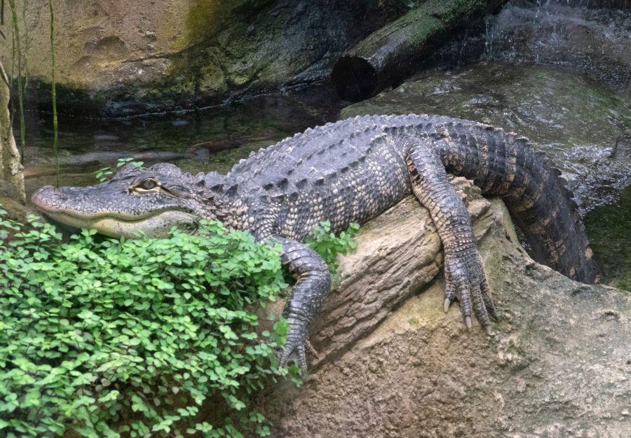 Un Alligator du Mississippi se repose sur une branche au ZooParc de Beauval © Pierre-François BOUCHER