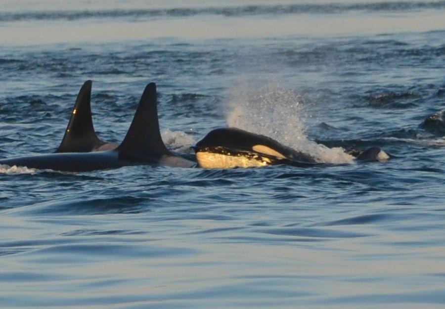 Des orques 'attaquent' des bateaux dans la peninsule ibe ... - Image 2