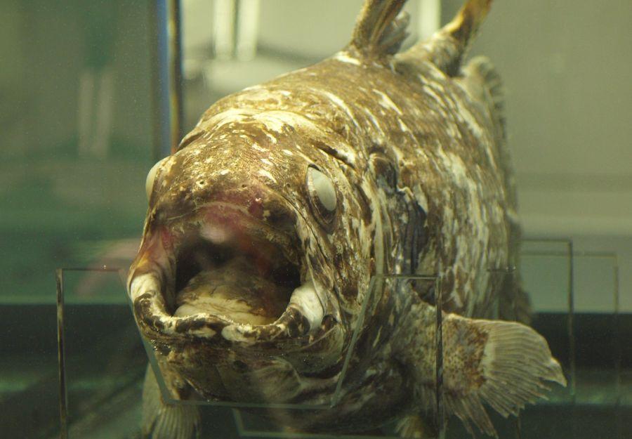 Nouvel article anigaido sur le coelacanthe et les espece ... - Image 2