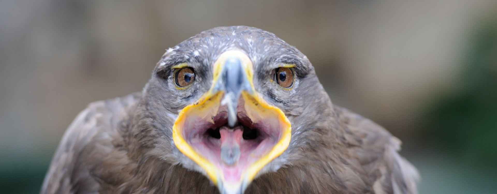 Aigle, gypaète, vautour : rapaces mythiques