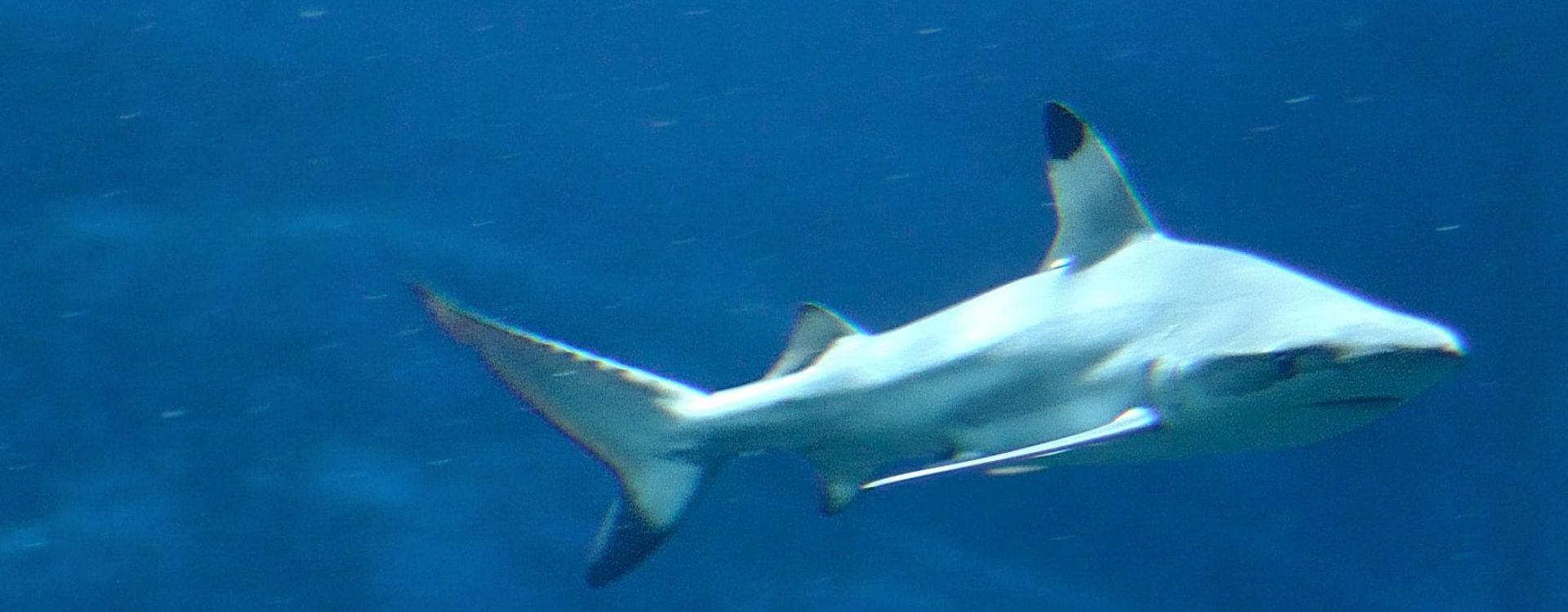 Requins ! S.O.S. Espèces menacées