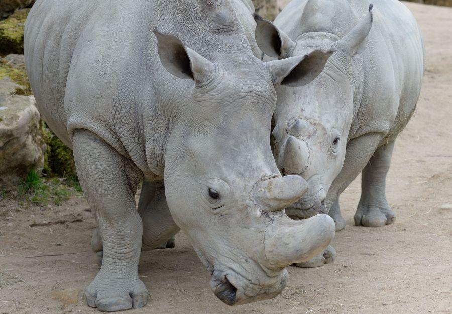 Photo d'une maman rhinocéros blanc et son petit par Thomas PIERRE