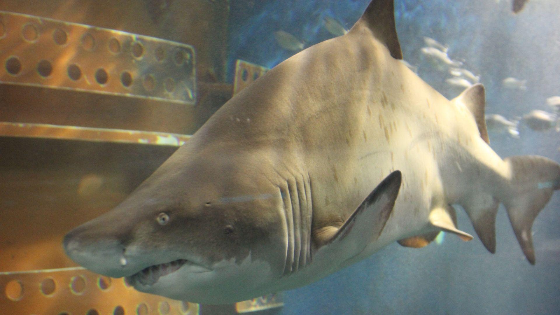 Quelle est la taille d'un pénis de requins