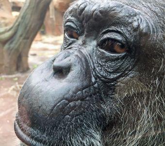 chimpanzés & bonobos : humains, trop humains ?