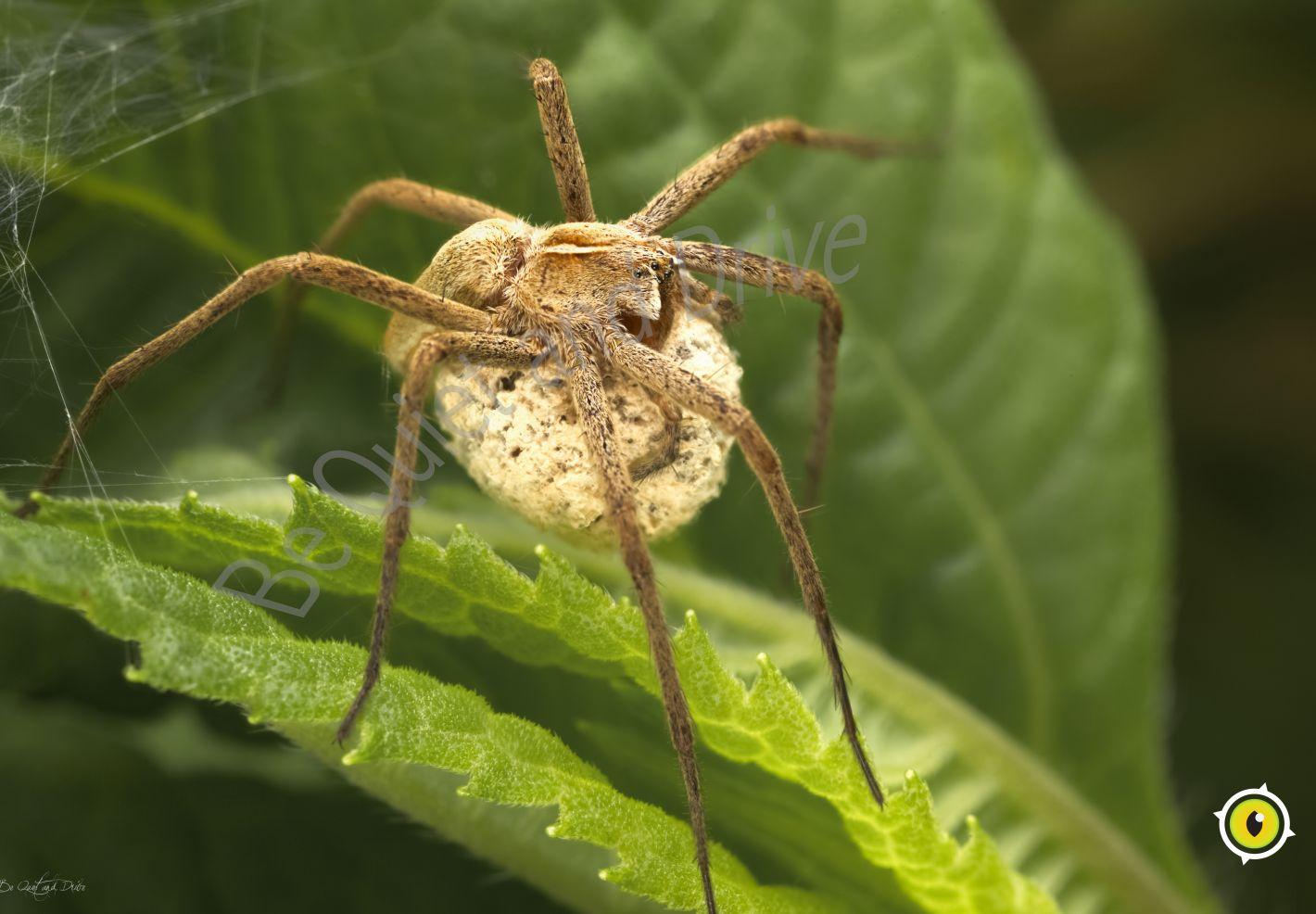 Une femelle d'araignée pisaure admirable protégeant ses oeufs