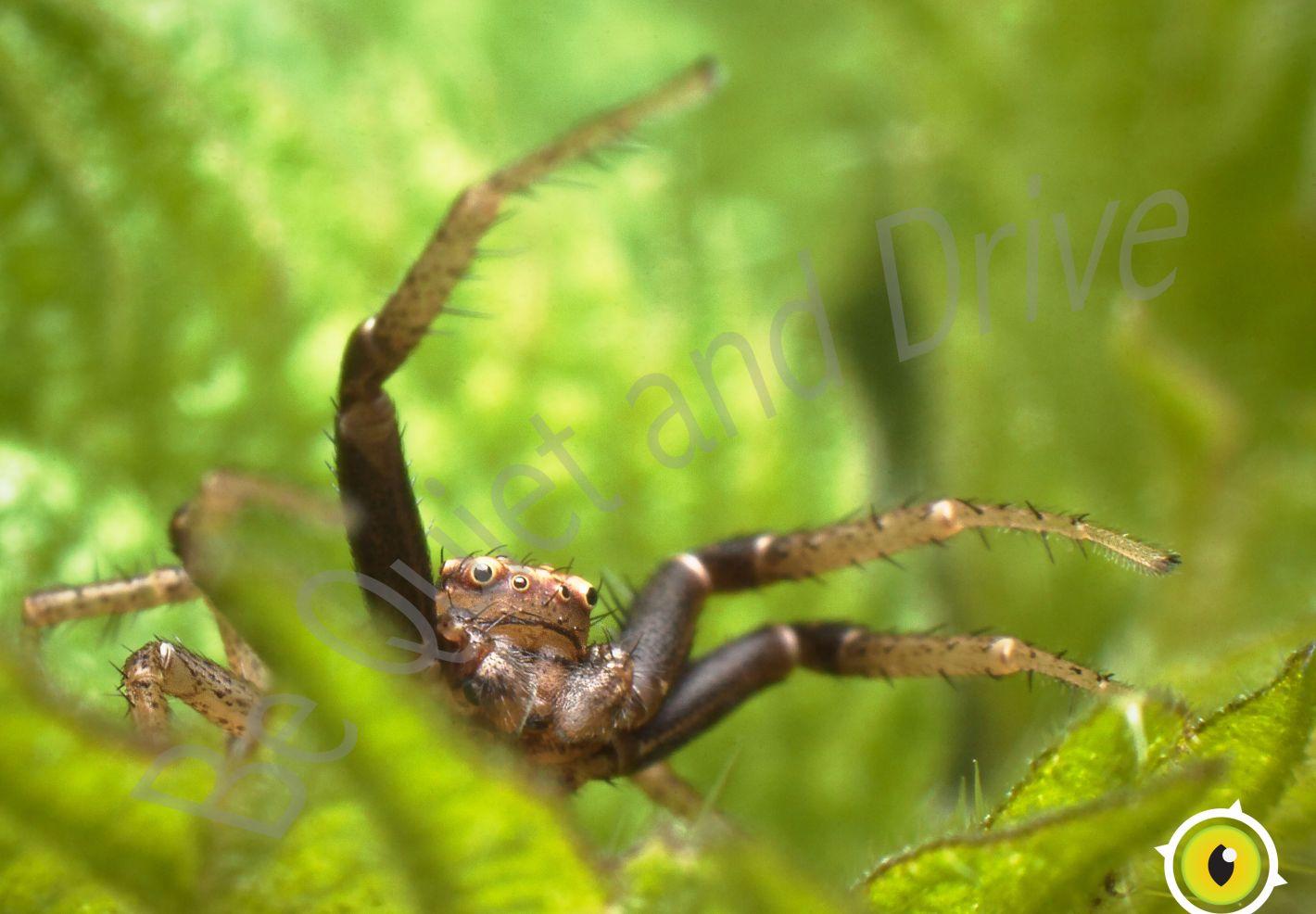 Une araignée Xysticus ulmi en gros plan