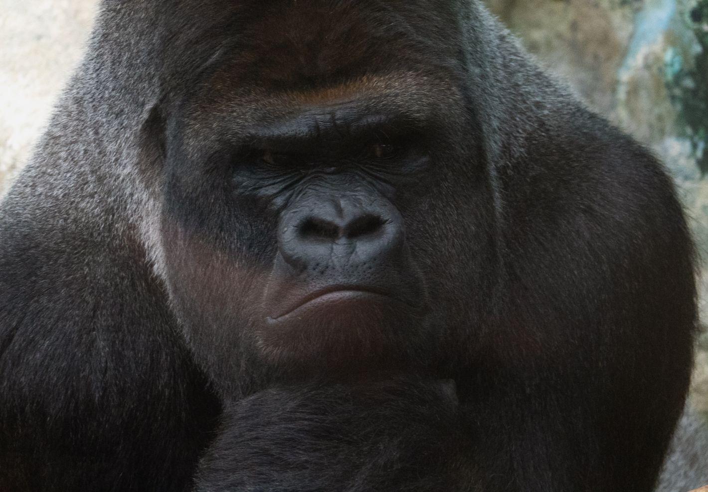 Gros plan d'Asato, le gorille star du Zooparc de Beauval (41)
