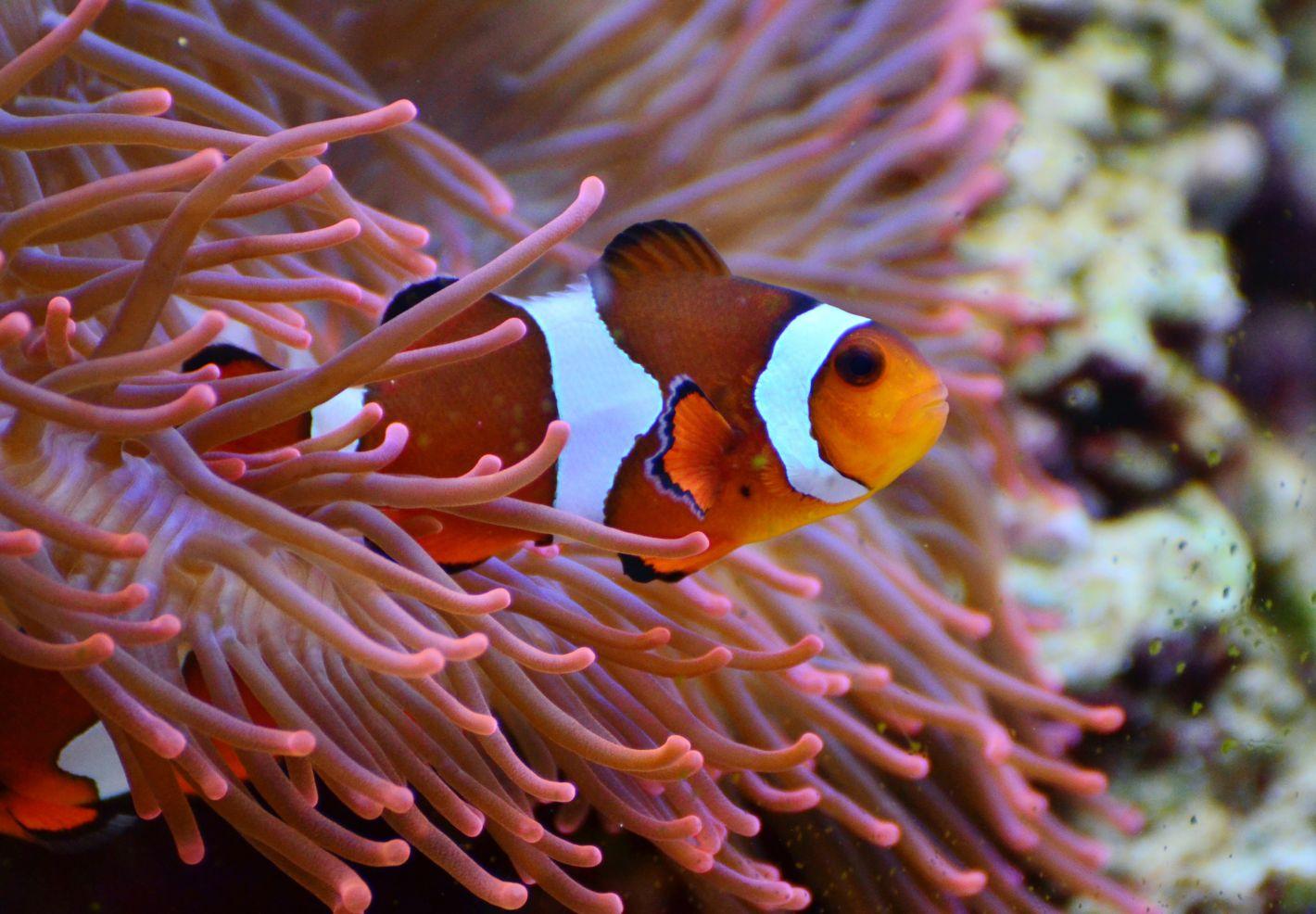 Poisson-clown dans une anémone de mer