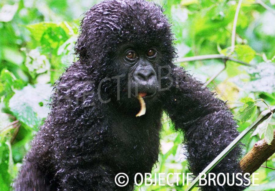 Un bébé gorille de montagne de la famille Rugendo dans les Virunga photographié par Xavier Gilibert d'Objectif Brousse