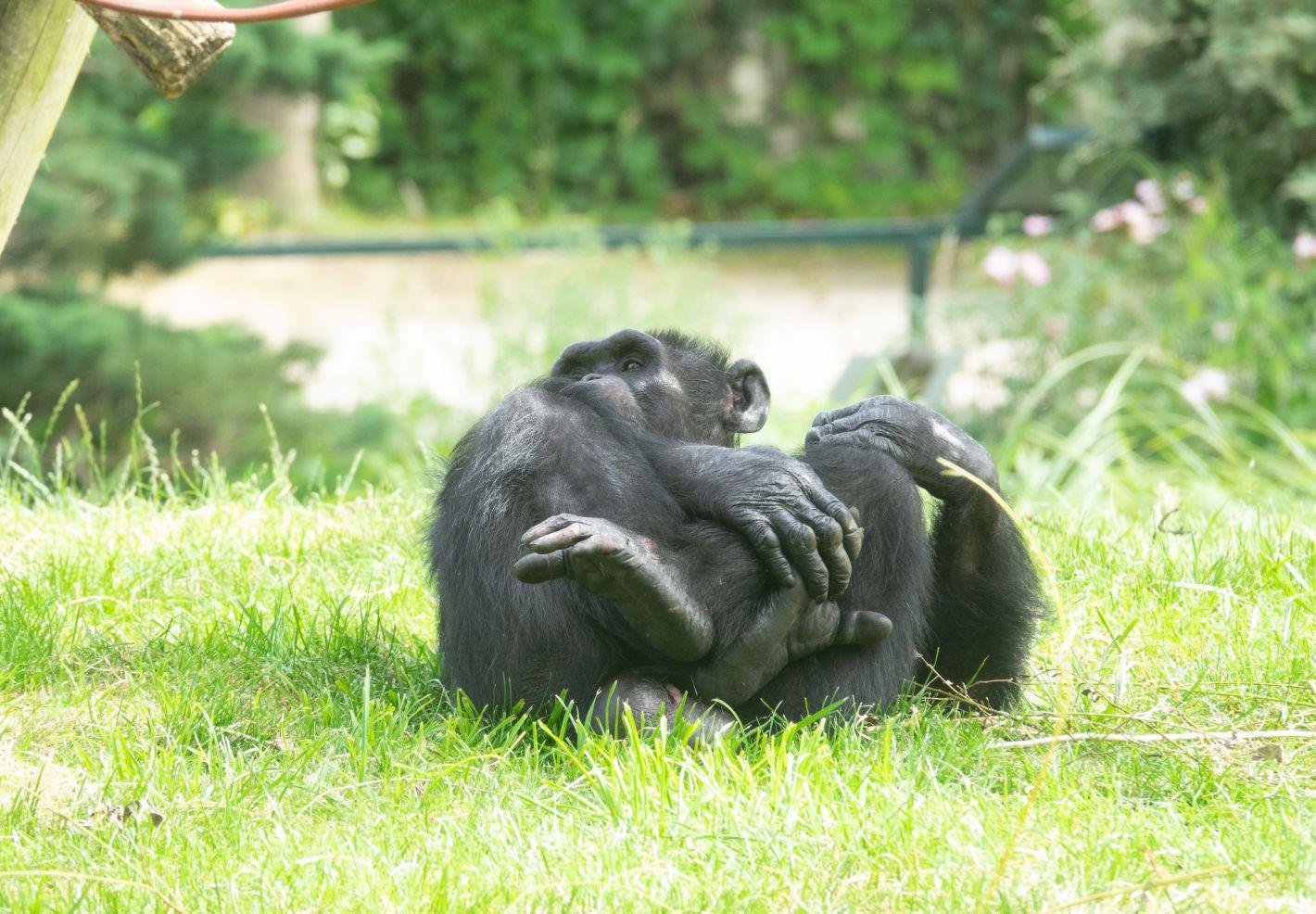 Un chimpanzé photographié au ZooParc de Beauval par Pierre-François BOUCHER