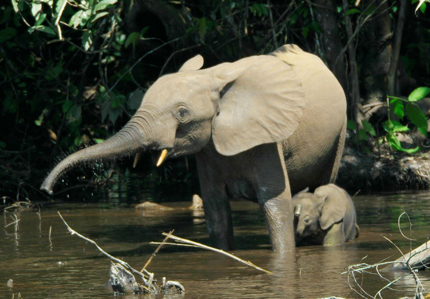 Eléphants de Forêt (Loxodonta cyclotis) dans le marais Mbeli Bai au Nouabalé-Ndoki National Park au Congo