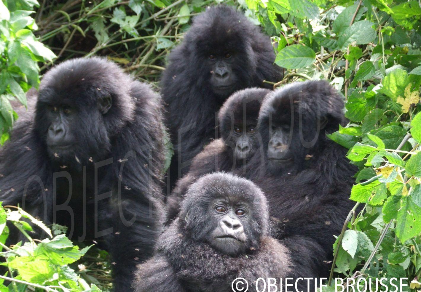 Famille de gorilles de montagne au Parc des Virunga par Xavier Gilibert d'Objectif Brousse