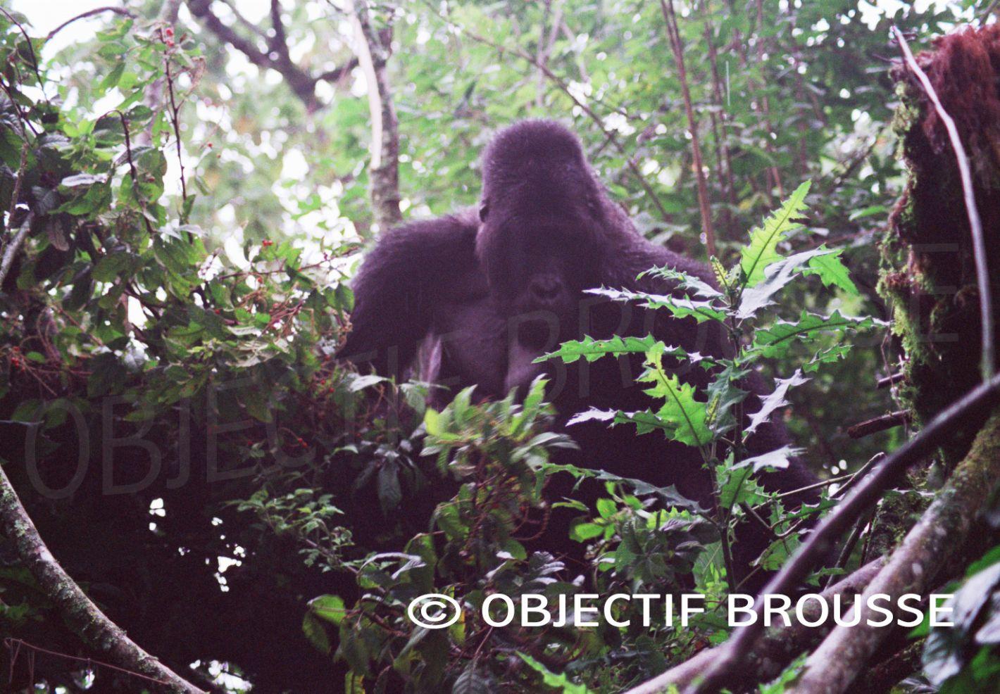Un gorille des plaines de l'Est installé dans son nid en République Démocratique du Congo photographié par Xavier Gilibert d'Objectif Brouse