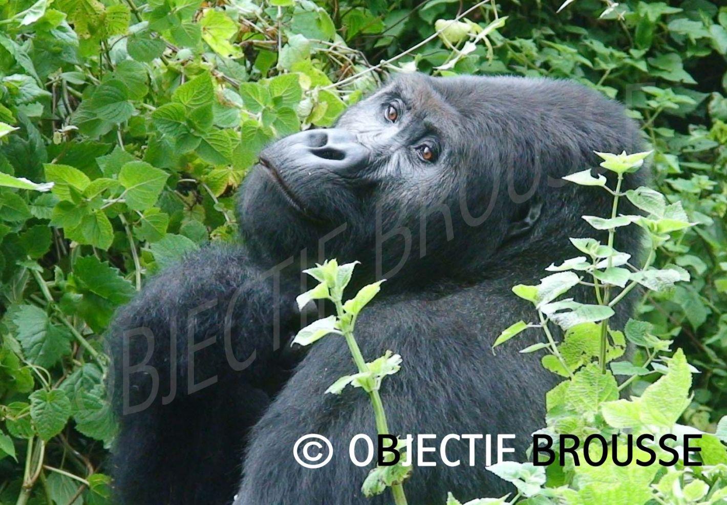 Un gorille de Grauer photographié par Xavier Gilibert d'Objectif Brousse en République Démocratique du Congo