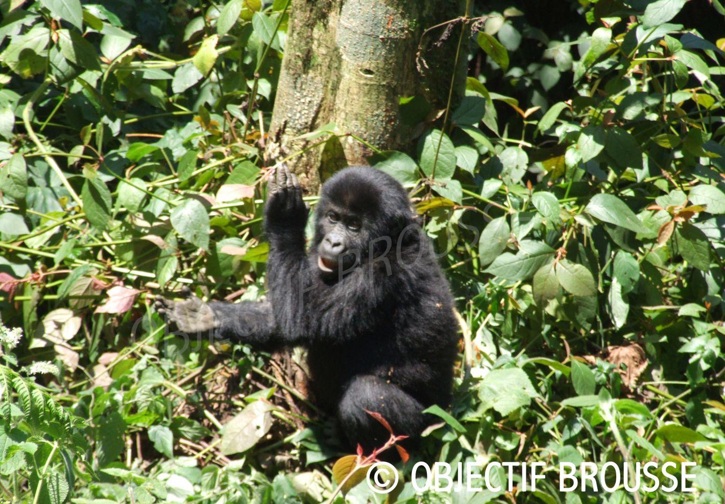 Photo d'un jeune gorille en train d'applaudir par Xavier Gilibert d'Objectif Brousse