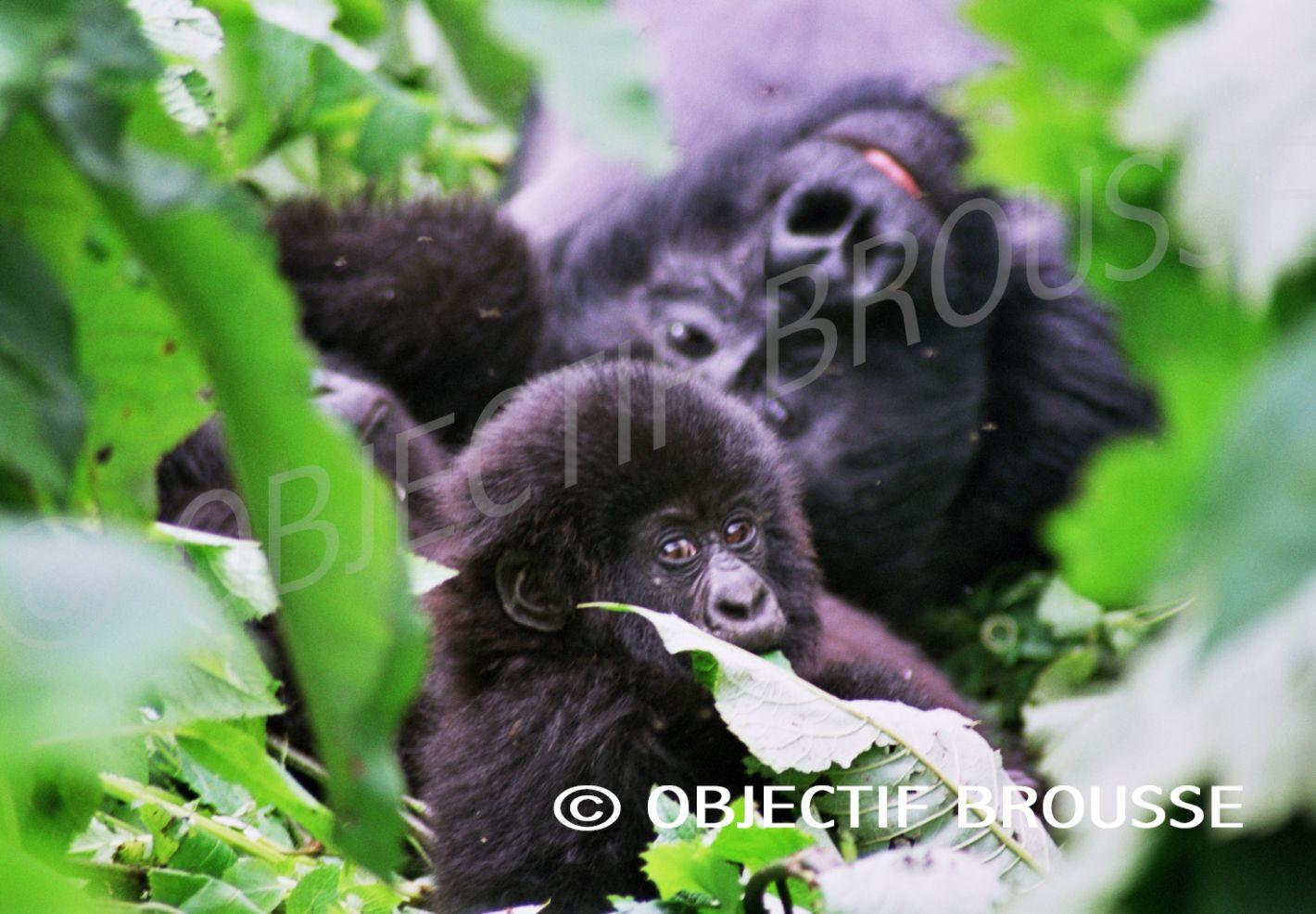 Des gorilles de montagne photographiés par Xavier Gilibert d'Objectif Brousse aux Virunga