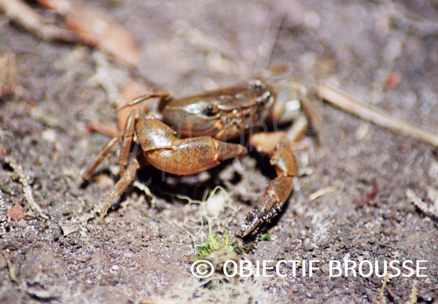 Un crabe photographié à plus de 2.500 m d'altitude dans les Virunga par Xavier Gilibert d'Objectif Brousse