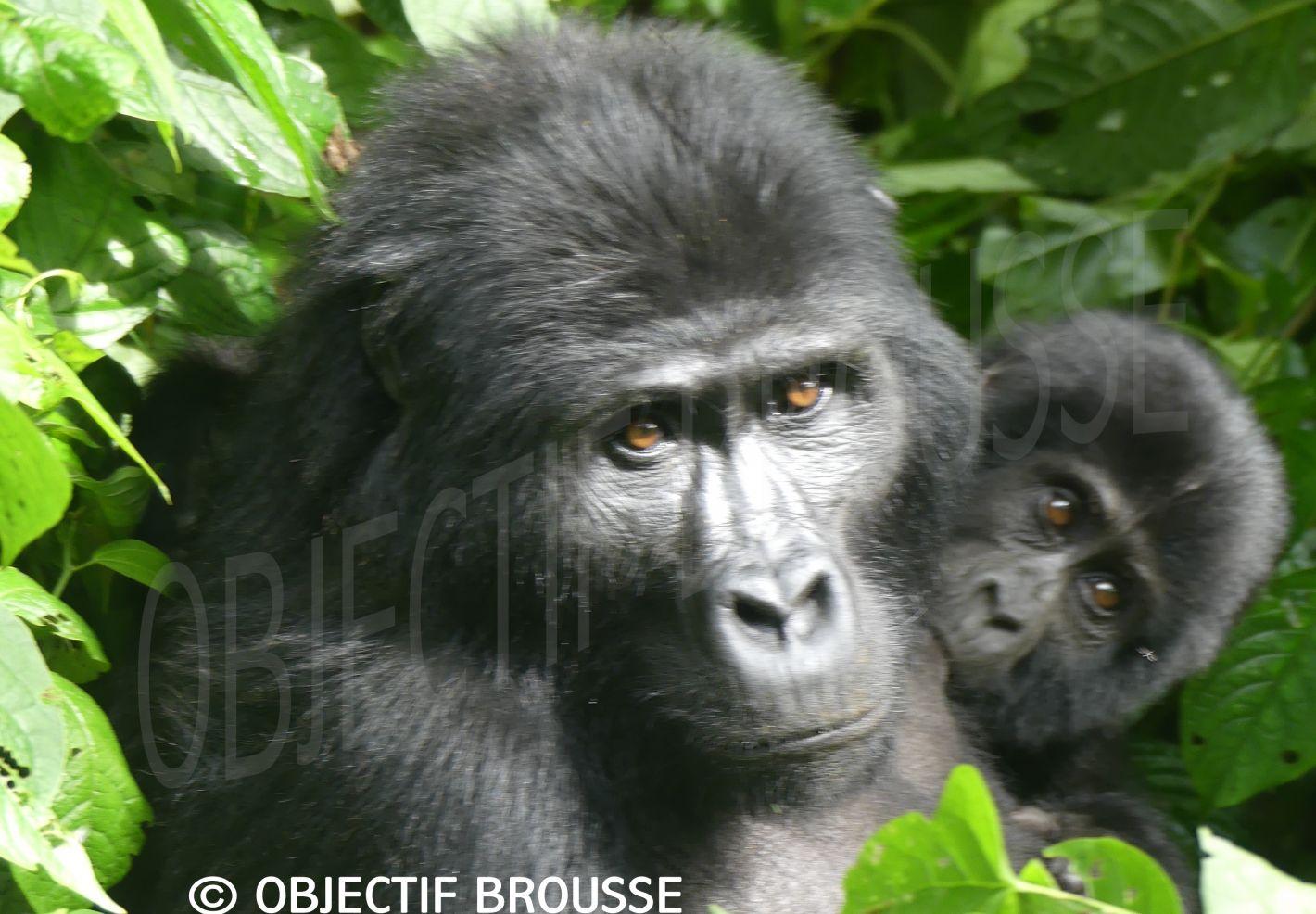 Photo en gros plan d'une mère gorille de Grauer et son petit en train de têter au Congo par Xavier Gilibert d'Objectif Brousse