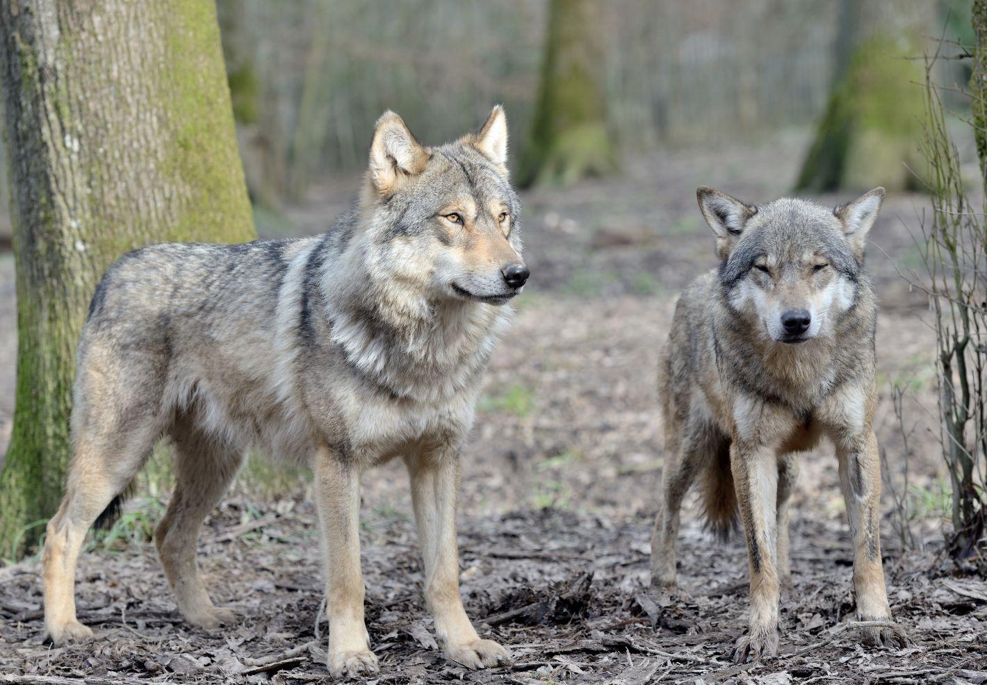 Deux loups gris photographiés par Thomas PIERRE au Parc Animalier de Sainte-Croix