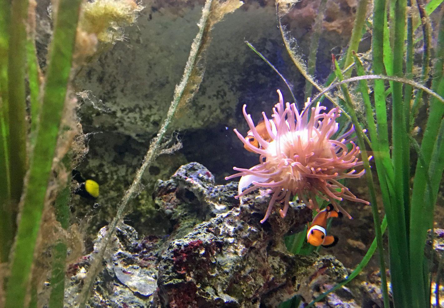 Des poissons-clowns à proximité d'une anémone de mer au Grand Aquarium de Touraine