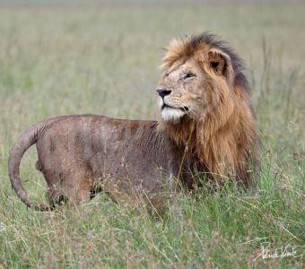 MASAI MARA, AU ROYAUME DES ANIMAUX DE LA SAVANE AFRICAINE