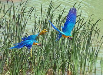 Photo de deux aras bleus en vol par Pierre-François BOUCHER