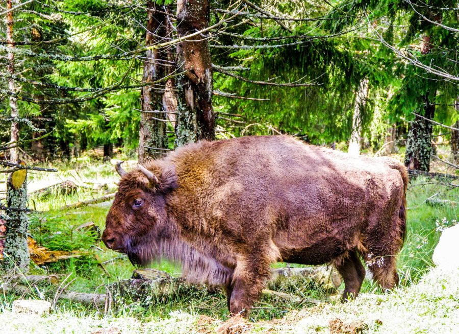 Photo d'un bison d'Europe par Ridoe, Pixabay, CC0