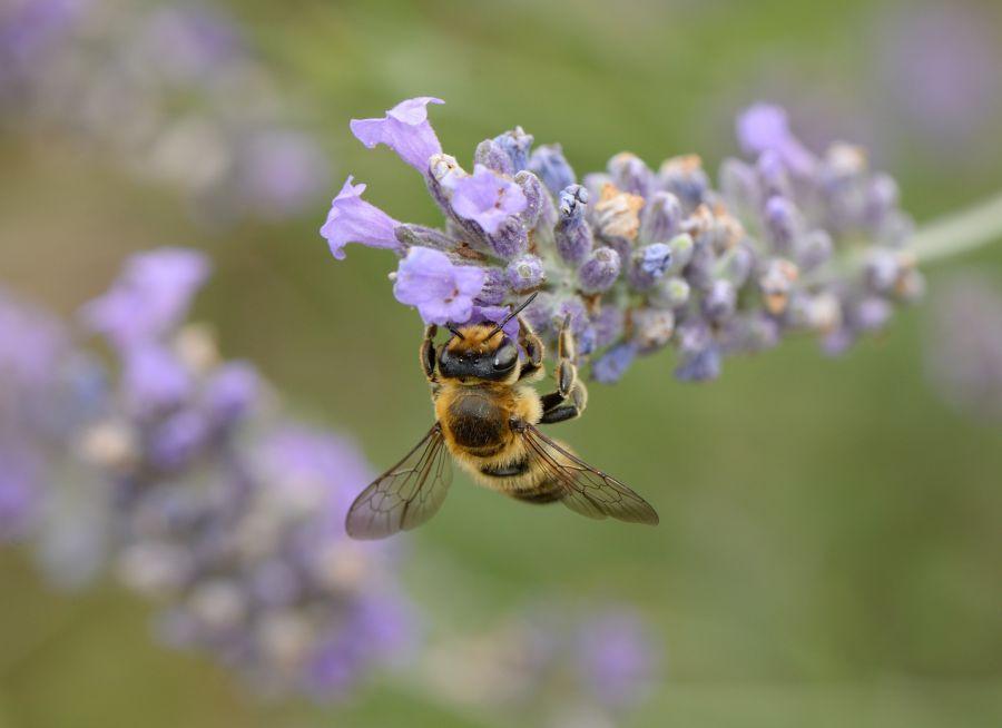 Photo d'une abeille européenne, ou abeille mellifère, sur une fleur, par Thomas PIERRE