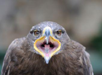 Photo d'un aigle royal de face avec le bec ouvert, par Thomas PIERRE