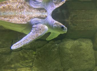 Photo d'une tortue Caouanne par Julien PIERRE