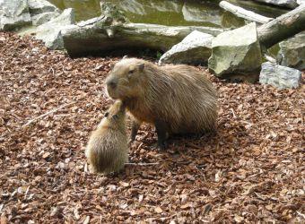 Photo d'un capybara et son petit par Julien PIERRE