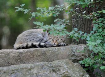Photo d'un chat sauvage par Thomas PIERRE