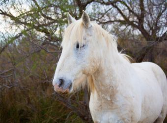 Photo d'un cheval Camargue par 2554813, Pixabay, CC0