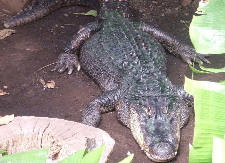 Photo d'un alligator du Mississippi par Julien PIERRE