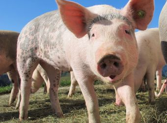 Photo d'un cochon domestique par Mutinka, Pixabay, CC0