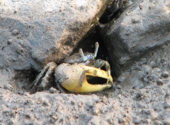 Photo d'un crabe violoniste par jenniecoyote, Pixabay, CC0