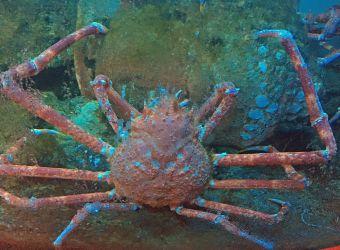 Photo d'un crabe-araignée géant du Japon par Julien PIERRE