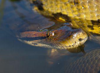 Photo de la tête d'un anaconda vert dans l'eau par ddouk, Pixabay, CC0
