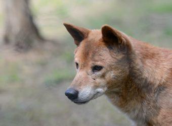 Photo d'un dingo par Thomas PIERRE