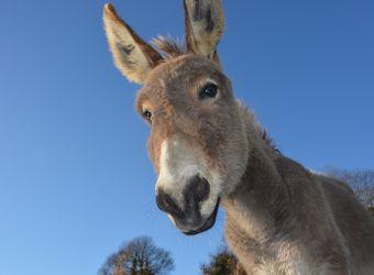 Photo de la tête d'un âne domestique en gros plan par JACLOU-DL, Pixabay, CC0