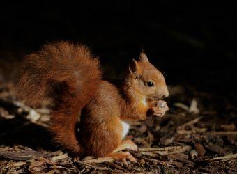 Photo d'un écureuil roux par Thomas PIERRE