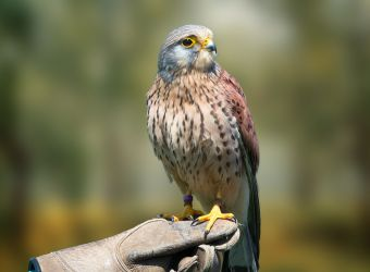 Photo d'un faucon crécerelle par Snap_it - Pixabay - CC0